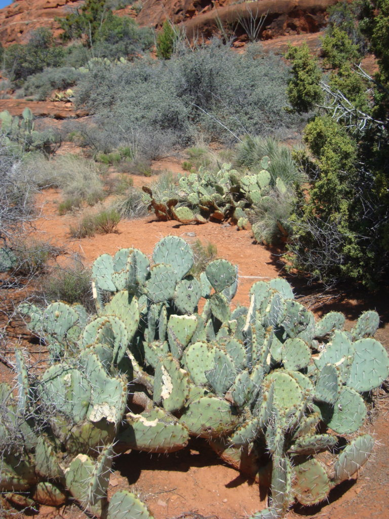 Cacti in Sedona, Arizona, USA