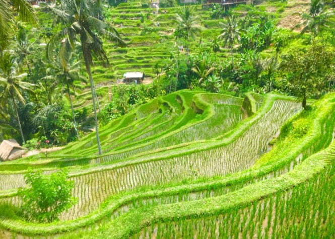 Tegalalang rice terrace are one of the most beautiful Bali rice terraces