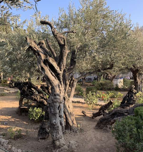 The GARDEN OF GETHSEMANE in Jerusalem is one of the most popular holy sites in Israel