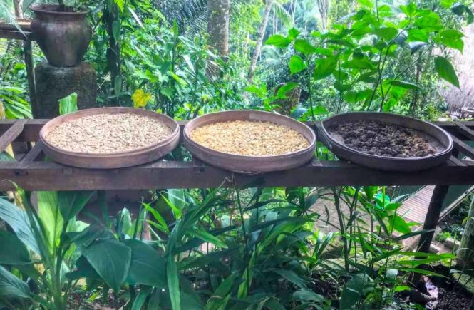 Authentic Kopi Luwak Coffee in Bali