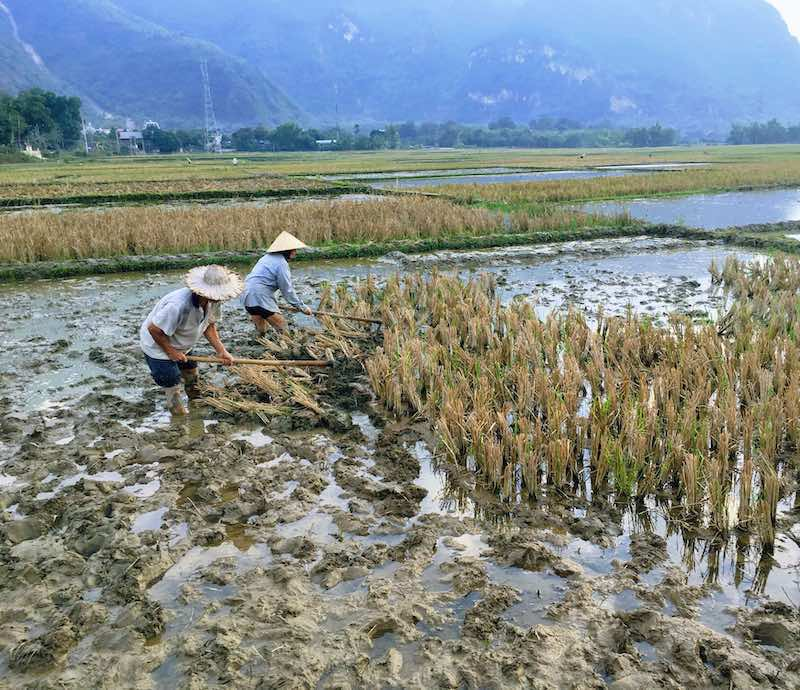 Works in the rice field in Mai Chau