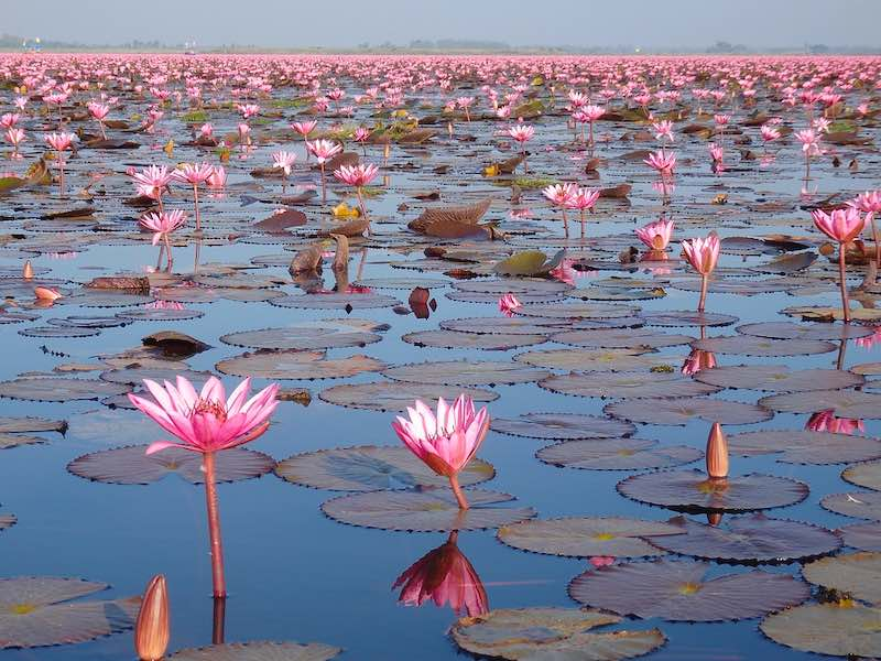 Seeing the Read Lotus Sea in Udon Thani is one of the top Thailand things to do